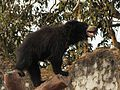 Sloth bear at Simliguda, Koraput, Odisha.jpg