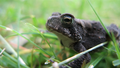 Small toad, dark coloring 3 (6084511410).png