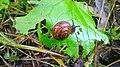Snail eating Etana syömässä 04.jpg