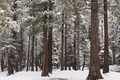 Snow covered trees, Mammoth Lakes, California LCCN2013633675.tif