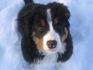 Arlo, a 13-week old Bernese Mountain Dog enjoy...