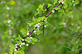 Snowberry Tree (Flueggea virosa) (16269578147).jpg