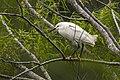Snowy Egret - Texas - USA H8O0211 (15408484391).jpg