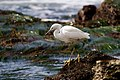 Snowy Egret Looking into the Tidepool.jpg