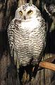 Snowy Owl in Ähtäri Zoo.jpg