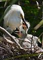 Snowy egret with chicks by Bonnie Gruenberg2.jpg