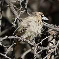 Sociable weaver, Philetairus socius, at Kgalagadi Transfrontier Park, Northern Cape, South Africa (45424904134).jpg