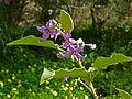 Solanum vespertilio (flowers).jpg