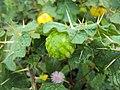 Solanum viarum 02.JPG