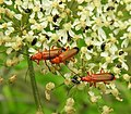 Soldier beetles and little black bugs (28013900172).jpg
