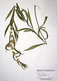 Solidago caesia var. caesia 1979-0904-9965.jpg