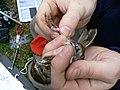 Song Sparrow (2460033578).jpg