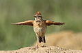 Song and dance routine of the Rufous-naped Lark, Mirafra africana at Rietvlei Nature Reserve, Gauteng, South Africa (16044794015).jpg