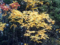 Sorbus decora 1219233.jpg