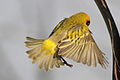 Southern Masked Weaver male flying. (9663805203).jpg