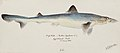 Southern Pacific fishes illustrations by F.E. Clarke 11.jpg