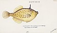 Southern Pacific fishes illustrations by F.E. Clarke 69.jpg