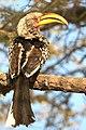 Southern Yellow-Billed Hornbill 2019-07-25.jpg