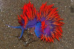 Spanish Shawl Nudibranch (Flabellina iodinea).jpg