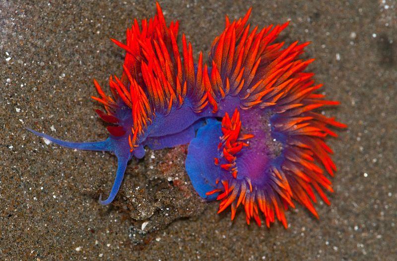 File:Spanish Shawl Nudibranch (Flabellina iodinea).jpg