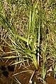 Sparganium.erectum.2.jpg
