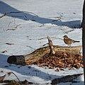Special winterguest, lots of redwings (koperwieken) searching for food in the leaves - panoramio.jpg