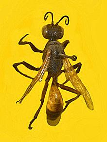 Bộ sưu tập côn trùng 2 - Page 4 220px-Sphecidae_-_Podalonia_hirsuta