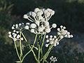 Sphenosciadium capitellatum rangers buttons.jpg