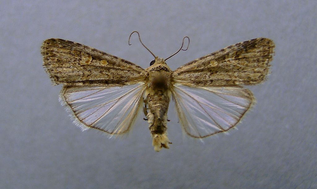 Spodoptera exigua1.jpg