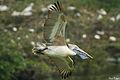 Spot-billed Pelican @ Vedanthangal.jpg
