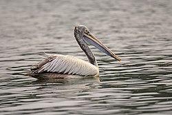 Spot-billed pelican-02.jpg