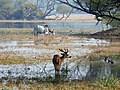 Spotted Deer Axis axis by Dr. Raju Kasambe DSCN2082 (8).jpg