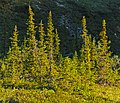 Spruce trees lit by midnight sun, Ivvavik National Park, YT.jpg