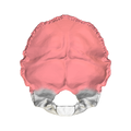 Squamous part of occipital bone01.png