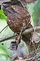 Sri Lanka Frogmouth (Batrachostomus moniliger) (5799653911).jpg
