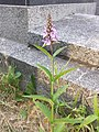 Stachys palustris sl12.jpg