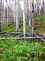 Stand of aspen along the trail to Lily Pad Lake, NW of the town of Frisco, Summit Co., CO - panoramio.jpg