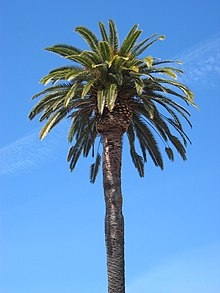 Stanford University Quad Palm Tree.JPG