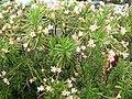 Starr-060922-9204-Nerium oleander-pink flower form-Kahului-Maui (24238994633).jpg