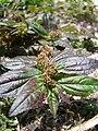 Starr-080531-4830-Euphorbia hirta-leaves and fruit-Bravo barracks Sand Island-Midway Atoll (24910815205).jpg
