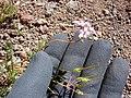 Starr-090504-7215-Erodium cicutarium-flowers fruit in hand-Science City-Maui (24323540884).jpg