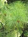 Starr-090623-1586-Cyperus papyrus-flowering habit-Kaeleku-Maui (24873599241).jpg