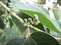 Starr-090623-1713-Trema orientalis-leaves and flower buds-Paani Mai Park Hana-Maui (24849222022).jpg