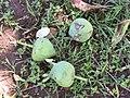 Starr-090813-4178-Barringtonia asiatica-fruit on ground-Kamalii Park Kahului-Maui (24676550120).jpg