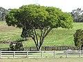 Starr-091120-0092-Jacaranda mimosifolia-habit pruned up-Maui Horse Center Makawao-Maui (24990428275).jpg