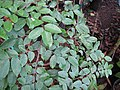 Starr-110215-1203-Averrhoa carambola-leaves-KiHana Nursery Kihei-Maui (24708180079).jpg