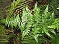 Starr-110307-2910-Diplazium esculentum-frond-Kula Botanical Garden-Maui (24985687381).jpg