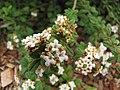 Starr-110621-6290-Lippia micromera-flowers-Hawea Pl Olinda-Maui (24470451253).jpg