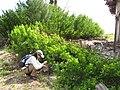 Starr-120412-4589-Conocarpus erectus-habit with Kim-Waihee Coastal Preserve-Maui (25046036531).jpg