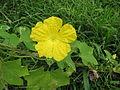Starr-120606-7021-plant-Luffa acutangula-flowers and leaves-Kahanu Gardens Veggie Garden Hana.jpg